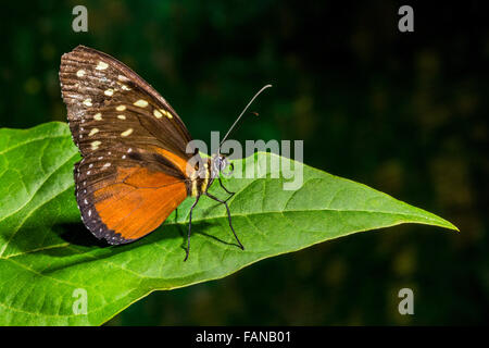 Costa Rica wildlife butterfly jungle rainforest rain forest fly flying Costa Rica rain forest cloud forest Danaus - Stock Photo