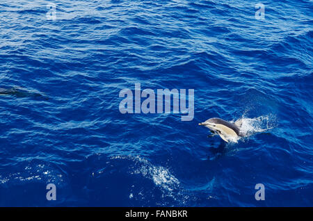 Dolphin emerging from the sea - Stock Photo