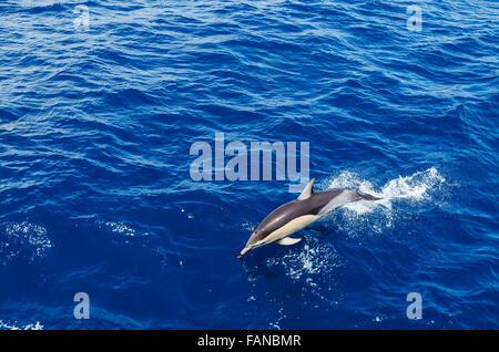 Common dolphin jumping - Stock Photo