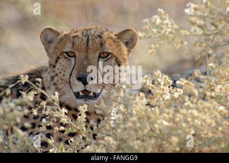 Portrait of a beautiful male cheetah (acinonyx jubatus) in afternoon sunlight in Moremi NP (Black Pools, Botswana - Stock Photo