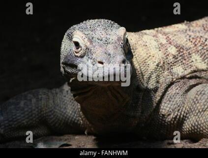 Closeup of the head of a Komodo dragon (Varanus komodoensis) - Stock Photo
