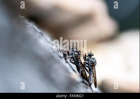 Robber / Assassin Fly (Asilidae) adults mating Epping Forest, England, Great Britain, United Kingdom, Europe - Stock Photo