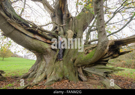 Cowdray Colossus, Sweet Chestnut tree [Castanea sativa]. Largest Sweet Chestnut tree in England. Sussex, UK. 300 - Stock Photo