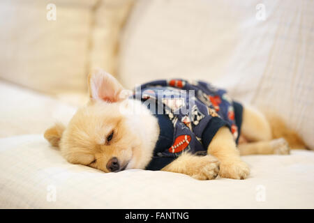 Sleepy pomeranian wearing dog t-shirt napping on the sofa - Stock Photo