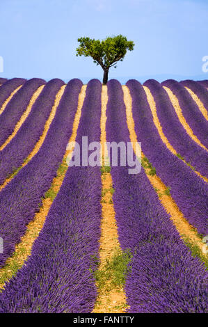 Lavender field and olive tree in Valensole on a warm summer afternoon. Southern Alps (Alpes de Haute Provence), - Stock Photo