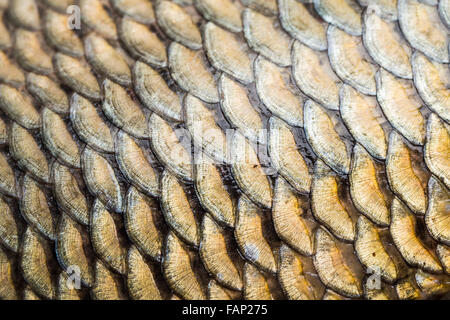 Carp fish scales grunge texture back ground - Stock Photo