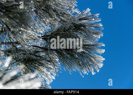 Hoar frost on Ponderosa pine branches in Oregon's Wallowa Valley. - Stock Photo