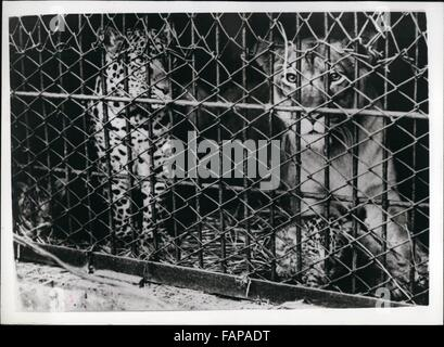 1962 - Introducing The World's First ''Leopards''.''Made In Japan''.For the first time in the world - the keepers at the Hanshin Park Zoo, near Osaka - Japan have succeeded in mating a Leopard and a Lioness - and two Leopard - lions have been born - known as ''Leopons''. Previously Lions and Tigers have been mated - to produce ''Ligers'', a Lioness and a tiger, producing ''Tigons'' and there has been a lion and a Leopardess union with the production of ''Lipards''.The Leopard named ''Koshio'' is 4 years 9 months old and came from Hagenbach Menageric - Germany - while ''Sonoko'' the liones Stock Photo