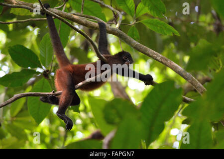 Spider monkey on the tree in Corcovado National Park - Stock Photo