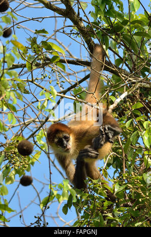Spider monkey on the tree in Tortuguero National Park - Stock Photo