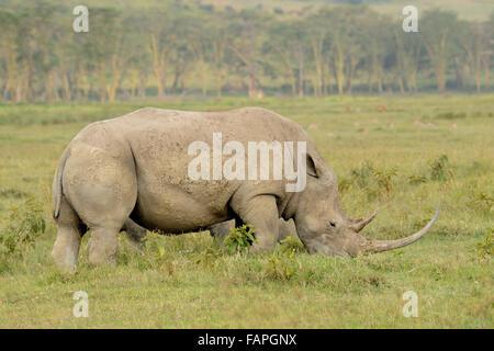 White rhino in Lake Nakuru National Park Kenya - Stock Photo