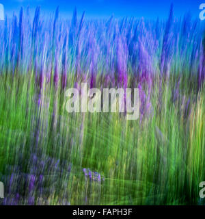 Blurred motion of blooming lavender flowers, Provence, France - Stock Photo