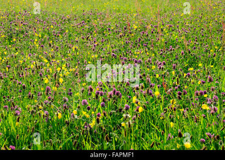 English summer meadow full of wildflowers. Mass of purple clover and yellow buttercups. - Stock Photo