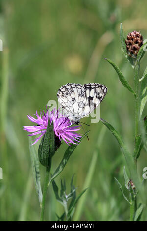 Marbled White butterfly Melanargia galathea on Knapweed flower head in the English countryside at Swanage Dorset - Stock Photo