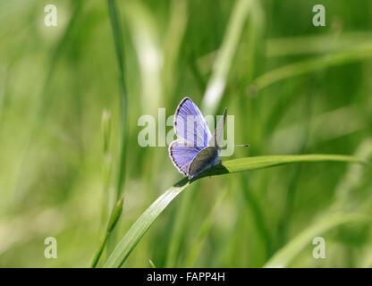Holly Blue butterfly  Celastrina argiolus basking on grass - Stock Photo