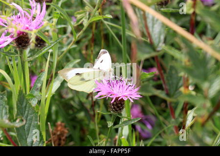 Large white butterfly Pieris brassicae on wildflower Knapweed - Stock Photo