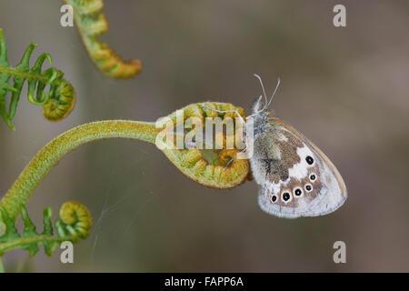 Large Heath Coenonymphia tulle,male butterfly perched on bracken,Shropshire,UK - Stock Photo