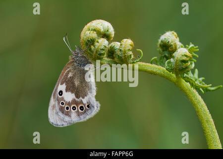 Large Heath Coenonympha tullia,male butterfly perched on bracken,Shropshire,UK - Stock Photo