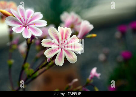 lewisia cotyledon var cotyledon Pink white bitter root hybrid flowers bloom blossom closeup close up macro RM Floral - Stock Photo