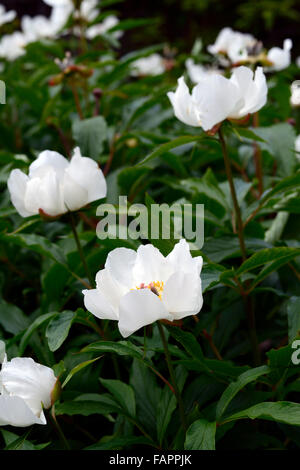 paeonia emodi white flowers Himalayan Peony Peonies flower flowering bloom blooming RM Floral - Stock Photo