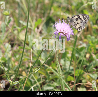 Marbled White Melanargia galathea butterfly on Knapweed flower England - Stock Photo