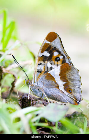 Purple emperor (Apatura iris) butterfly in Fermyn woods Brigstock country park nature reserve  Northamptonshire - Stock Photo