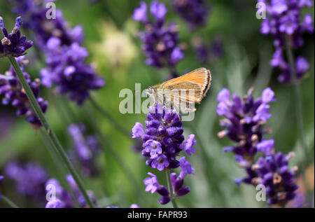 Small Skipper butterfly Thymelicus sylvestris on lavender flowers - Stock Photo