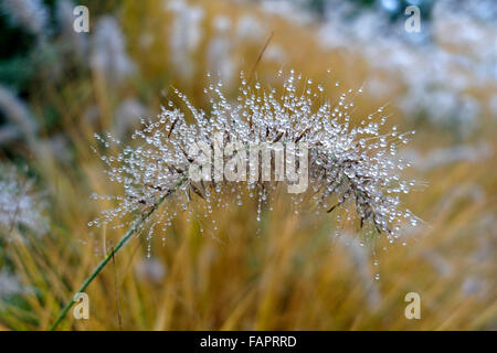 Foxtail fountain grass (Pennisetum alopecuroides) with dew drops, Germany - Stock Photo