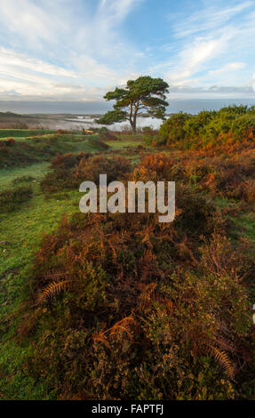 A lone pine tree at Bratley View in the New Forest. - Stock Photo