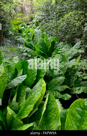 Lysichiton americanus yellow skunk cabbage foliage leaves spring perennials bog water aquatic plants RM Floral Stock Photo