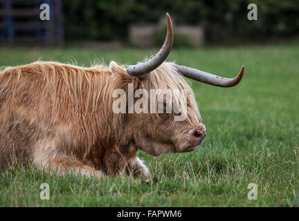 Longhorn Steer grazing in a green pasture - Stock Photo