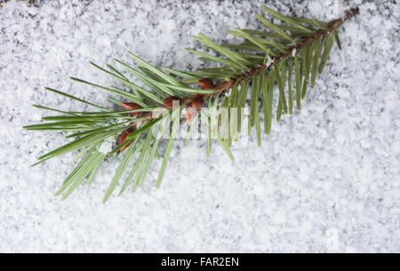 Close up Douglas fir branch with seeds on snow - Stock Photo