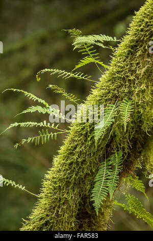 Moss-covered tree with licorice ferns growing out of it near Hobart, Washington, USA - Stock Photo