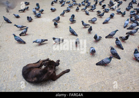 Black dog and pigeons in the street. Kathmandu. Nepal. - Stock Photo