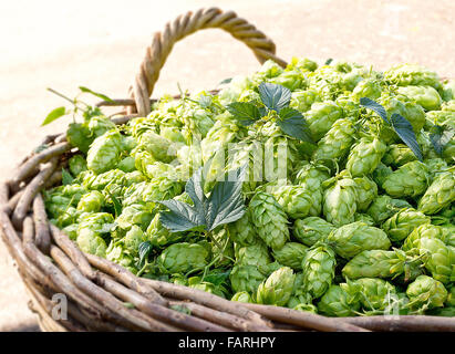 a  lot of hop cones in the wicker basket - Stock Photo