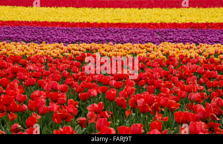 Colourful tulip fields in the Skagit Valley, Washington State, during the annual Skagit Valley Tulip festival. - Stock Photo