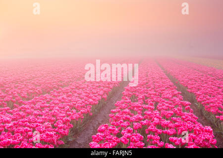 Colourful tulips in the Netherlands, photographed at sunrise on a beautiful foggy morning. - Stock Photo