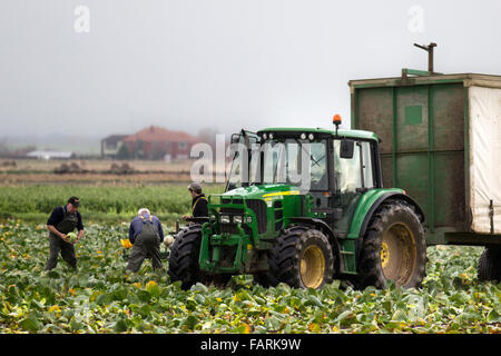 Tarleton, Lancashire, UK. 4th January, 2016. Local farmers Back at Work picking cabbage trying to salvage crop from - Stock Photo