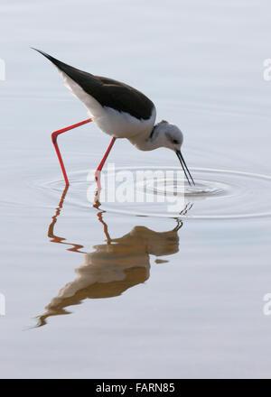 Black Winged Stilt (Himantopus Himantopus) Reflection and Ripples Portrait India - Stock Photo