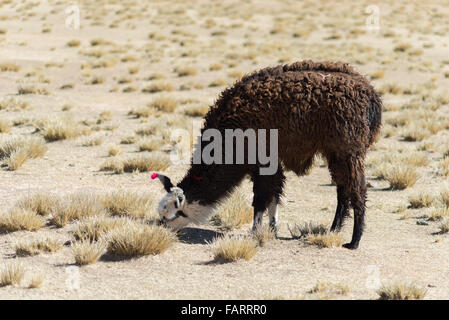 One single llama on the Andean highland in Bolivia. Adult animal grazing in desert land. Side view. - Stock Photo
