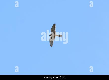 beautiful male Common Kestrel (Falco tinnunculus) flying in the sky - Stock Photo