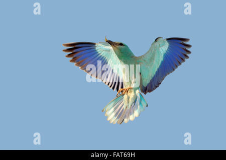 European Roller go back to the nest with insect for your cubs - Stock Photo