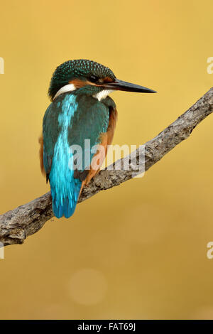 Eurasian Kingfisher on the roost - Stock Photo