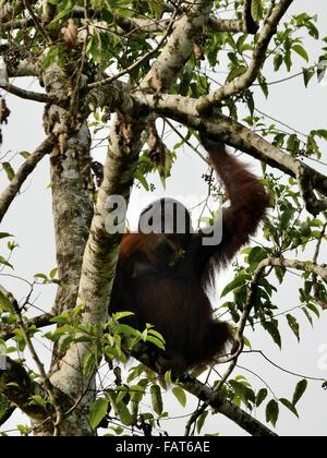 A Wild Orangutan on the tree in kinabatangan river - Stock Photo