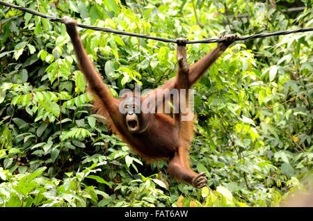Orangutan in  Sepilok Orangutan rehabilitation center - Stock Photo