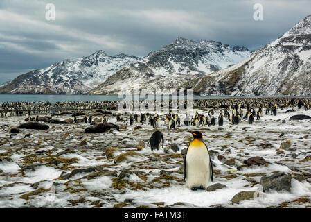 King Penguins (Aptenodytes patagonicus) breeding colony, St. Andrews Bay, South Georgia Island with elephant seals - Stock Photo