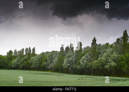 A storm brewing over a treed windbreak sheltering an arable field in summer - Stock Photo