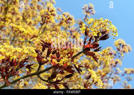 Acer platanoides 'Goldsworth purple' in flower - Stock Photo