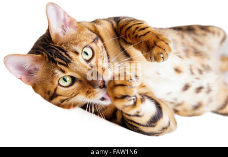 Male Bengal Cat looking at camera and licking his paw isolated on white background  Model Release: No.  Property - Stock Photo