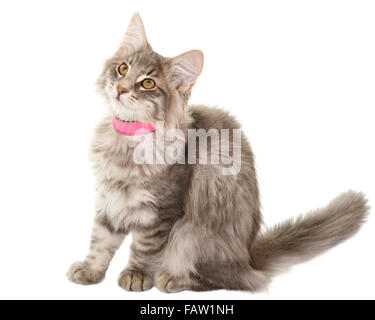 Norwegain forest cat kitten portrait isolated on white background  Model Release: No.  Property Release: No. - Stock Photo